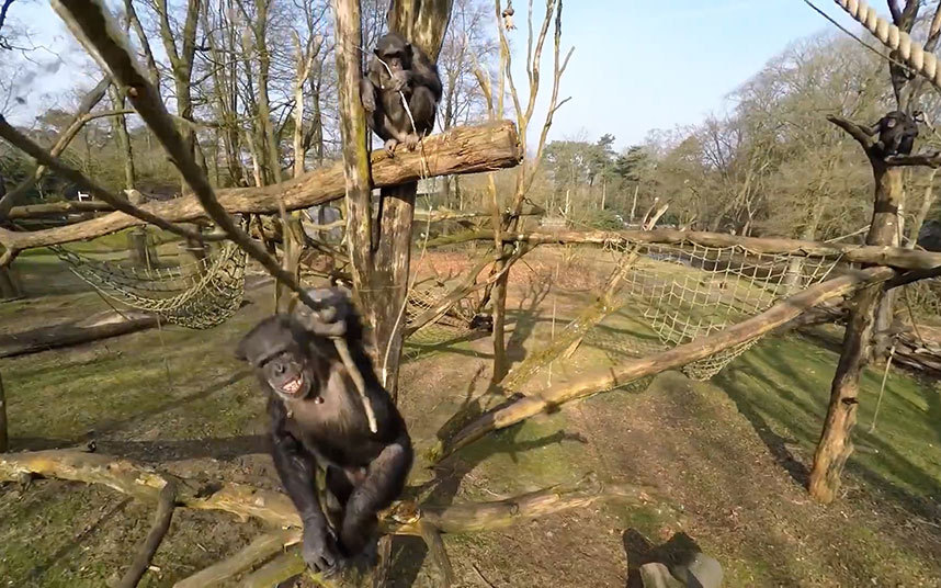 A Battle Between Chimpanzees and Modern Quadcopters