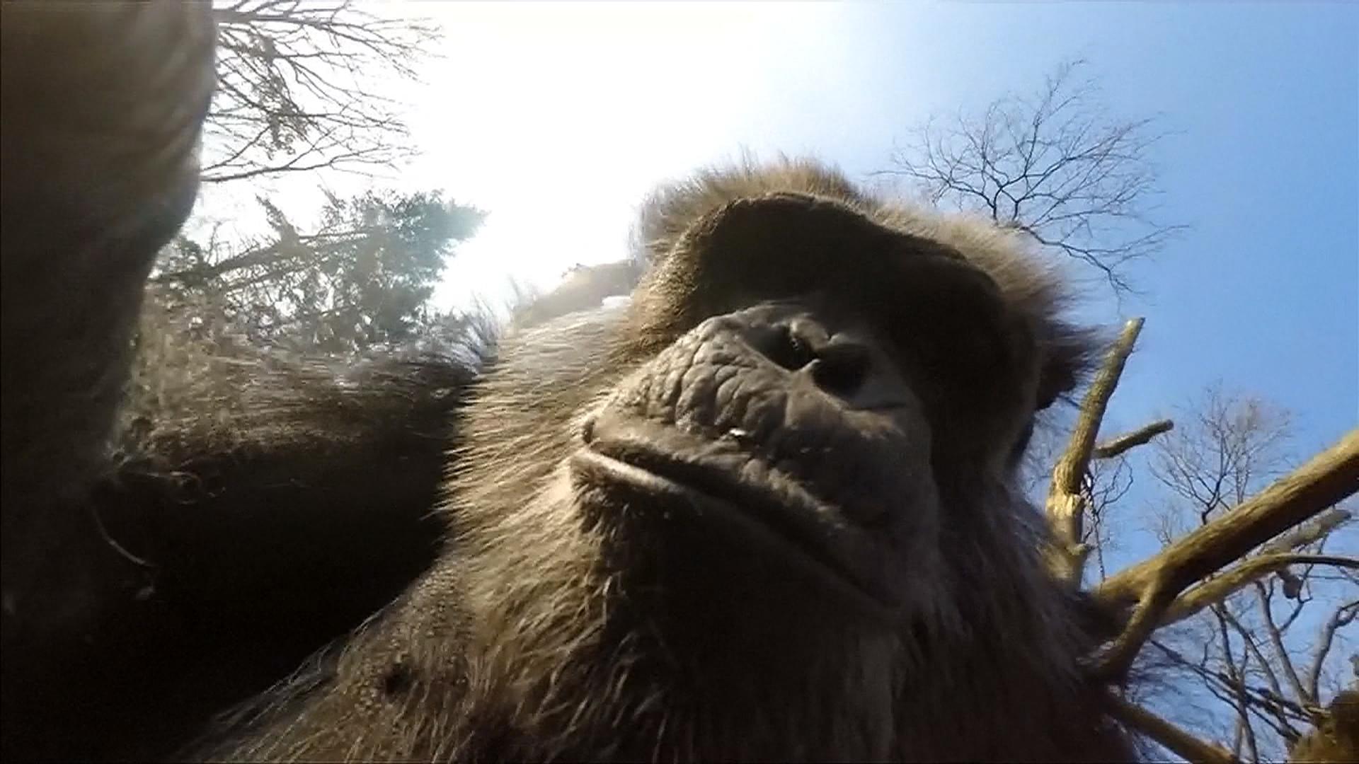 Chimpanzee Knocking Down a Drone